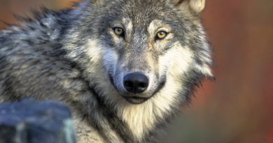 vlk sa stal chráneným žiočíchom
